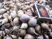 ОДНОЗУБКА (однодоля,  однозубок) элитные семена чеснока « Софиевский »